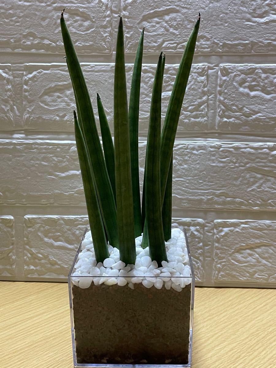 観葉植物サンスベリアロケット