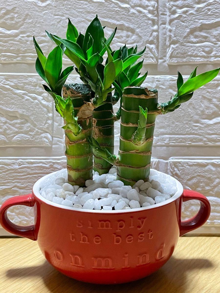 観葉植物キングバンブー