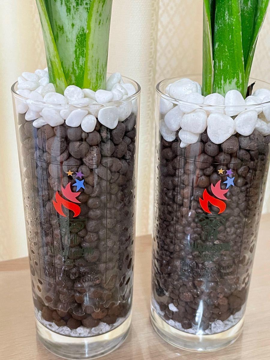 観葉植物サンスベリア