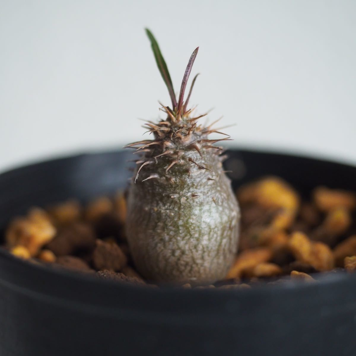 Pachypodium gracilius③【国内実生】パキポディウム グラキリス◆コーデックス 珍奇植物_画像1
