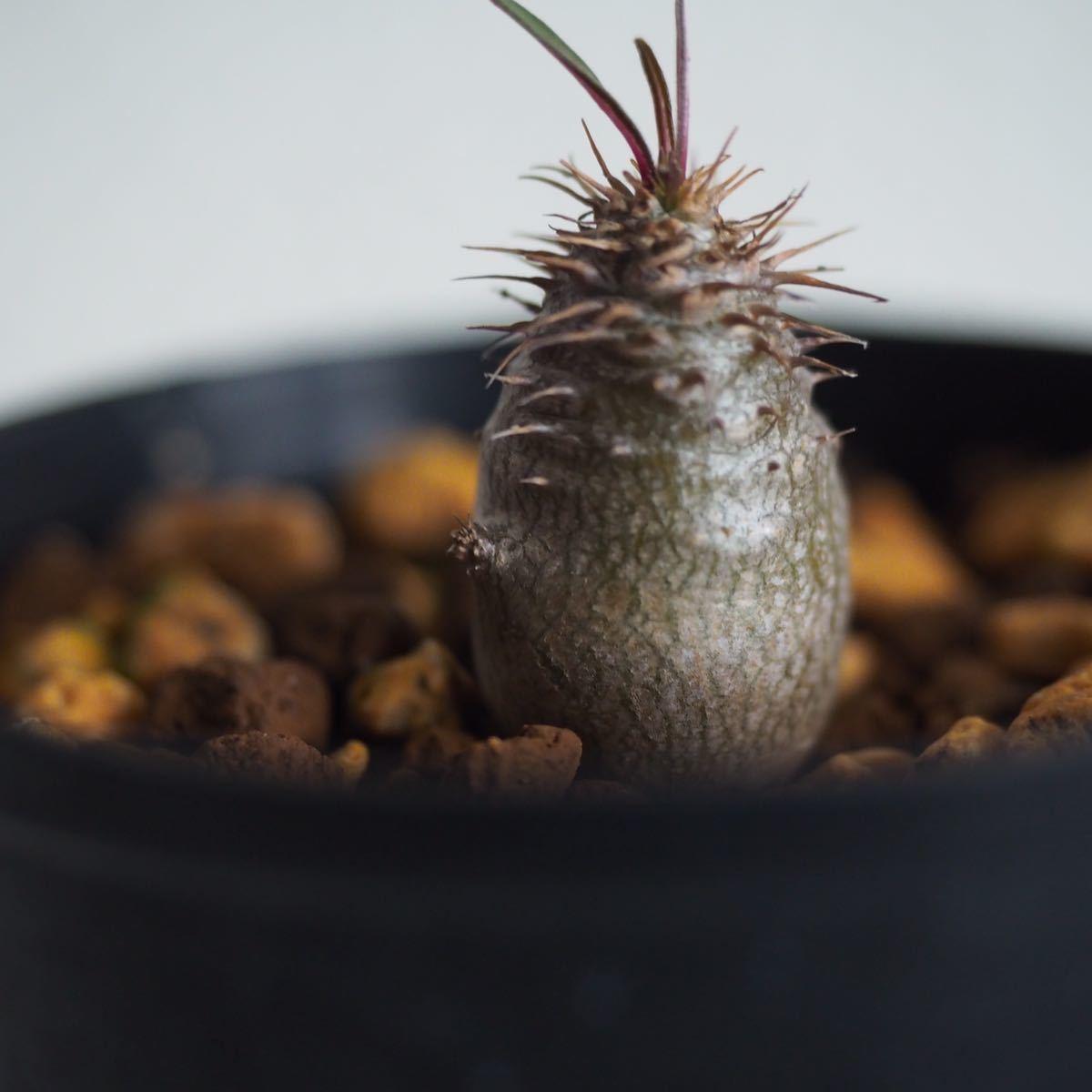 Pachypodium gracilius③【国内実生】パキポディウム グラキリス◆コーデックス 珍奇植物_画像2