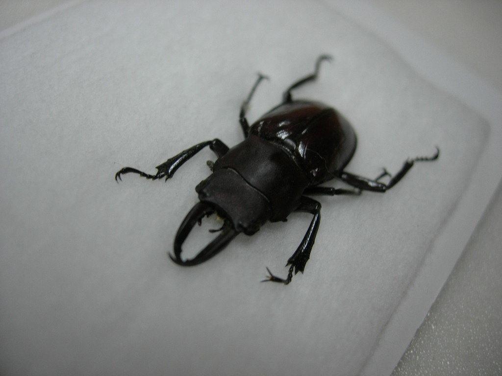 昆虫標本★タローニツヤクワガタ♂26ミリ_画像1