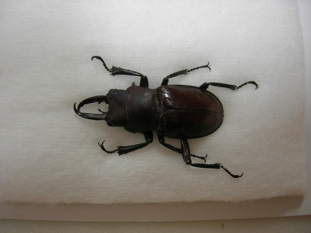 昆虫標本★タローニツヤクワガタ♂26ミリ_画像2