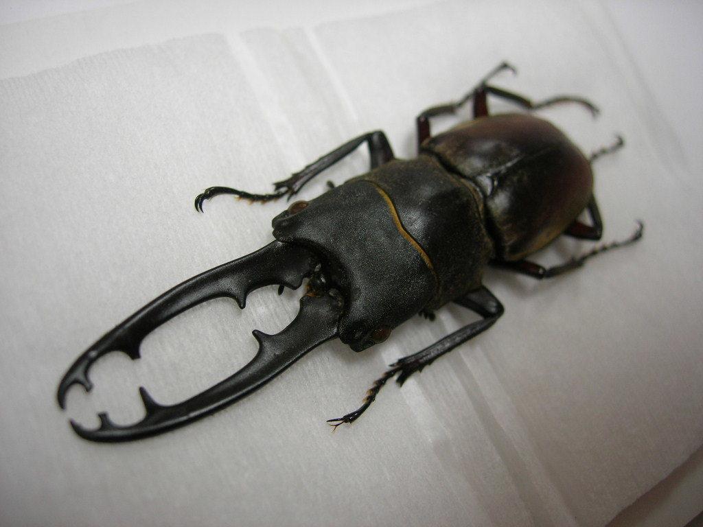 昆虫標本★ドエスブルグノコギリクワガタ♂63ミリ_画像1