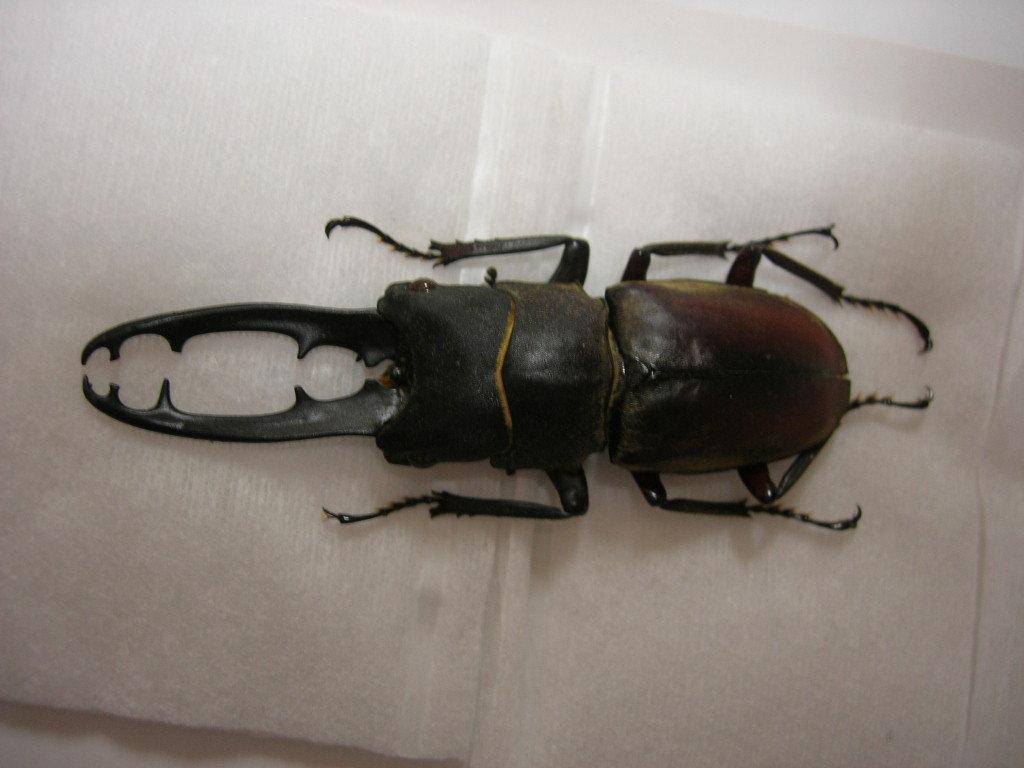 昆虫標本★ドエスブルグノコギリクワガタ♂63ミリ_画像2
