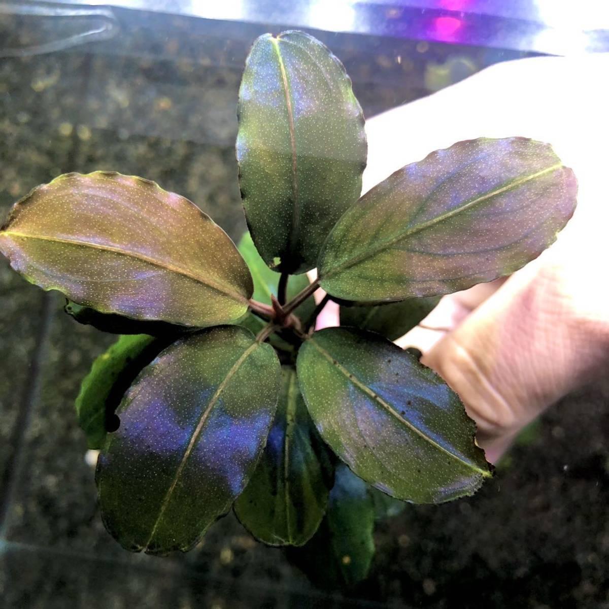 《ブセファランドラsp.ナンガタマン TB便 》水草 ADA ミクロソリウム パルダリウム レッドビーシュリンプ