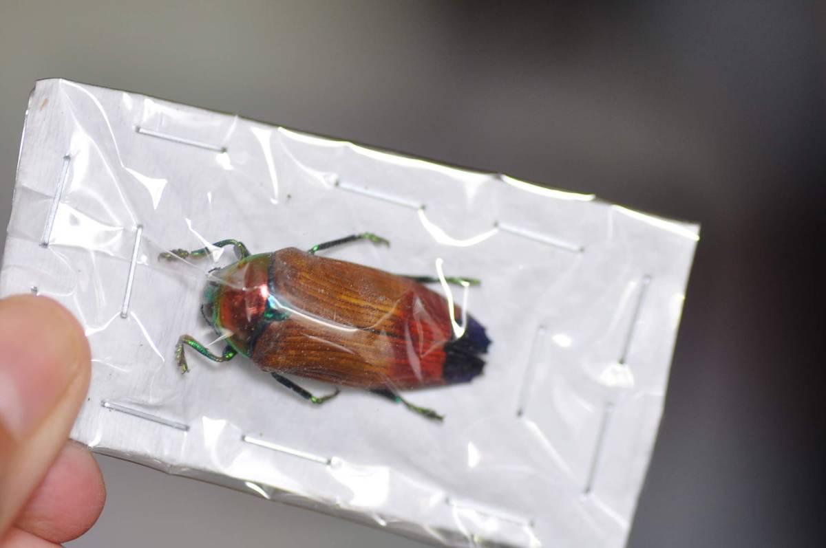 アピカリスタマムシ 昆虫標本_画像1