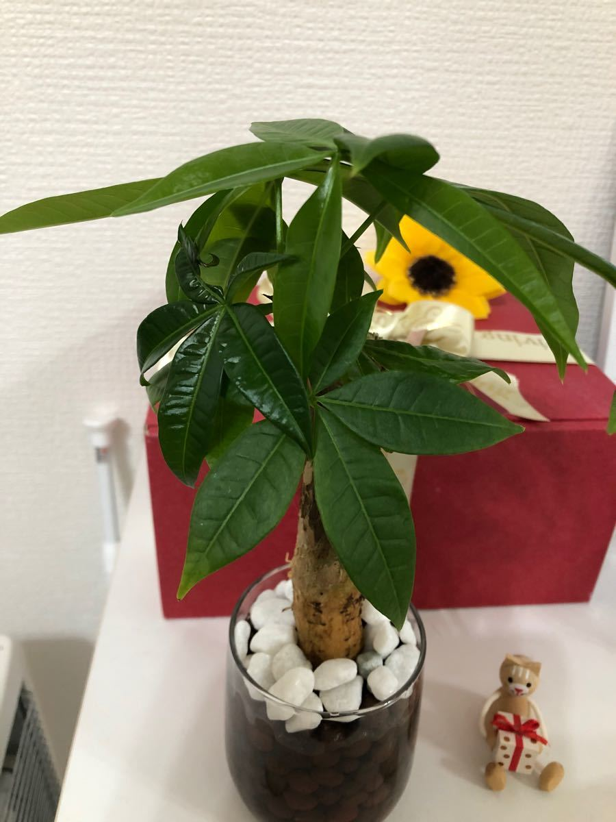 観葉植物ハイドロカルチャー