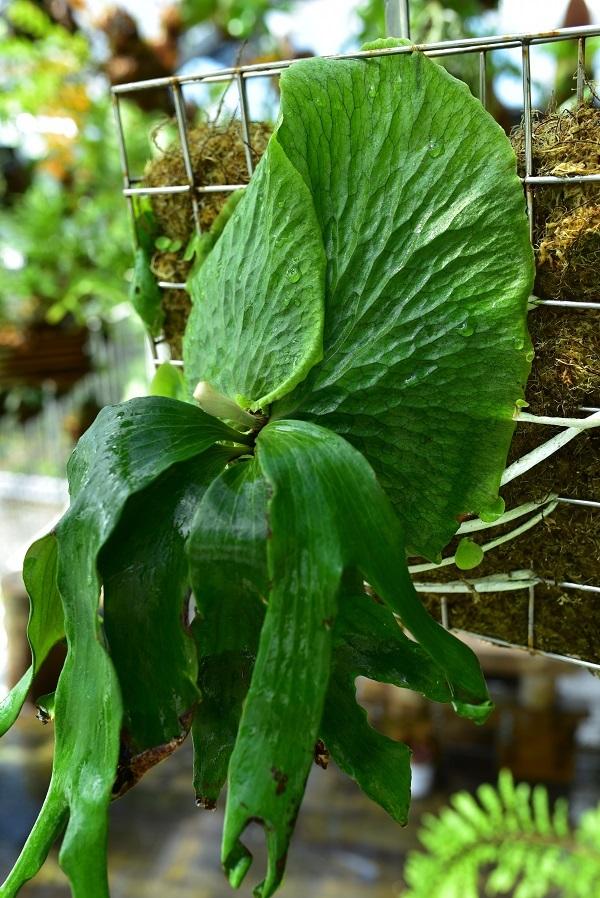 P.Budsaba ( P.madagascariense × P.quadridichotomum)②  @bikamori.com ビカクシダ ブッサバ