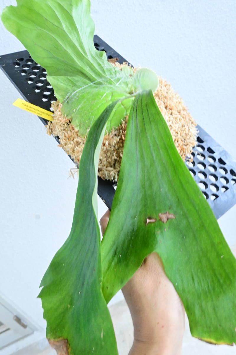 P.Damkerng(P.stemaria cv.laurentii x P.elephantotis)  @bikamori.com ビカクシダ ダムカーン