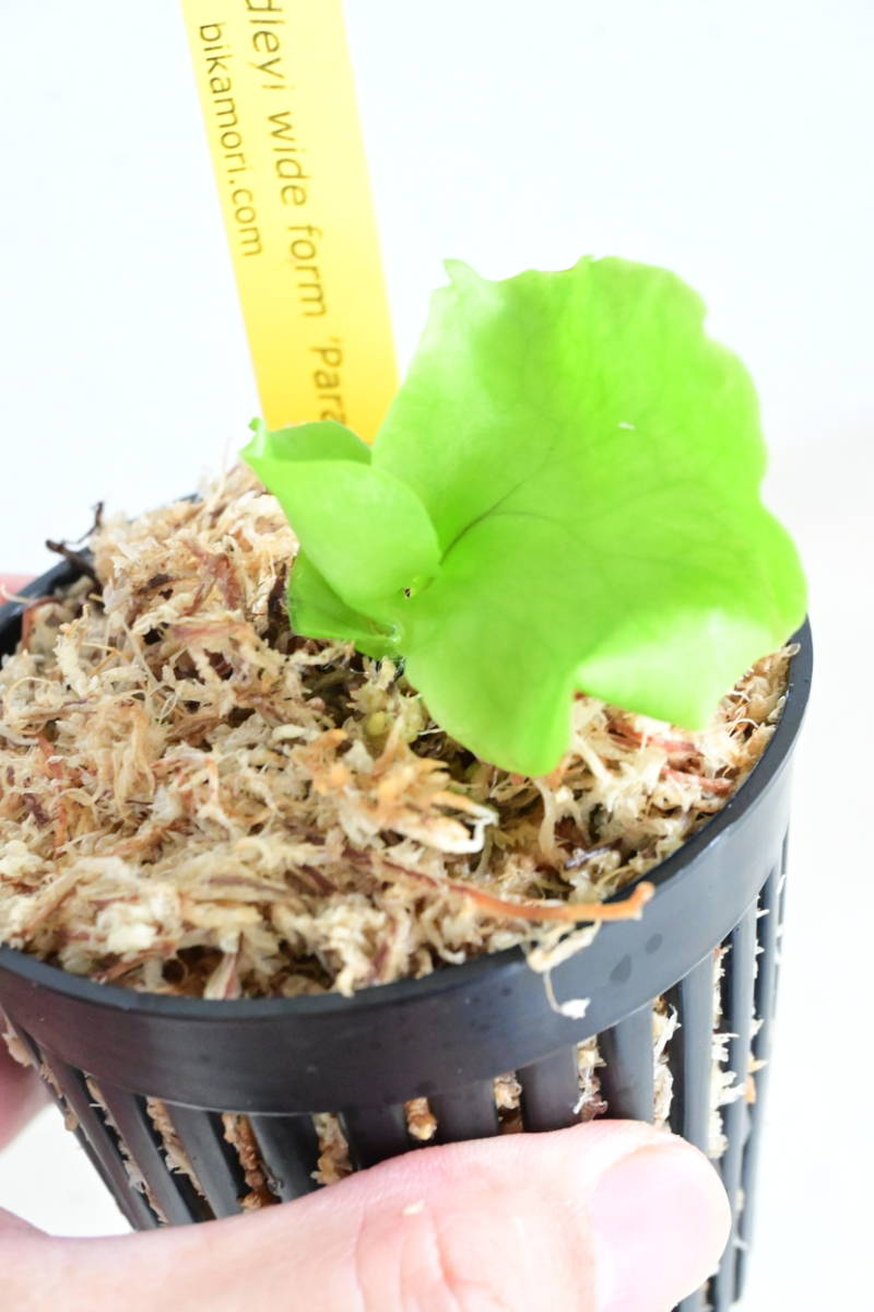 P.ridleyi wide form 'paradisaea'④  @bikamori.com ビカクシダ リドレイワイドフォーム パラダイス