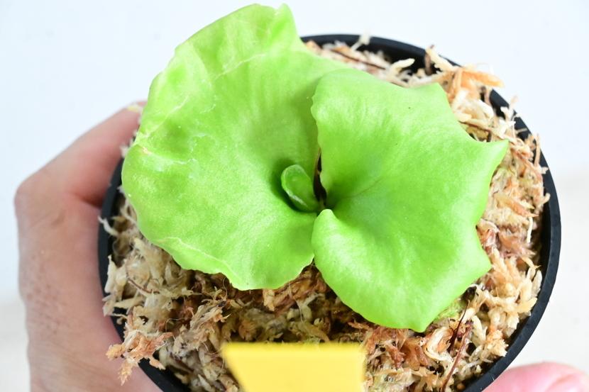 P.ridleyi wide form 'paradisaea'②  @bikamori.com ビカクシダ リドレイワイドフォーム パラダイス