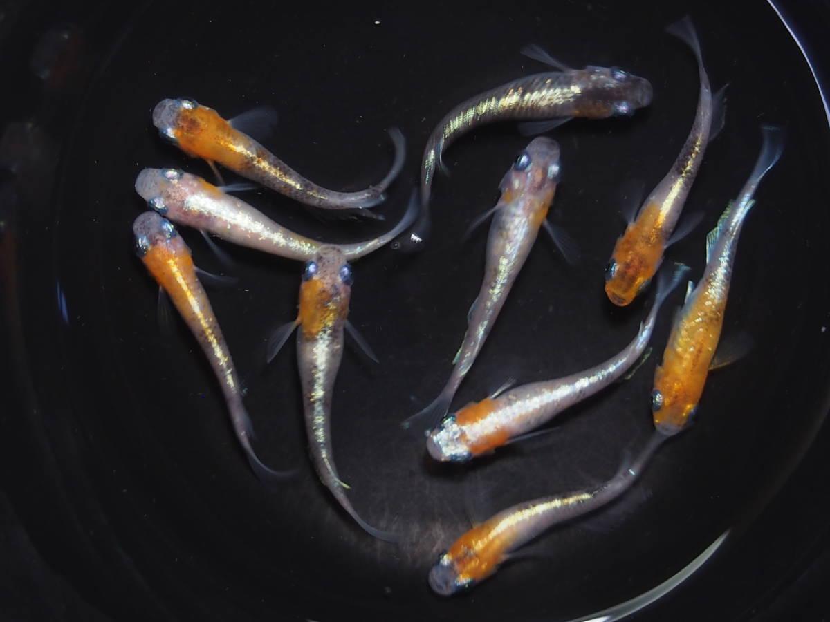 メダカ 三色ラメ体外光 若魚 画像のオス4 メス6