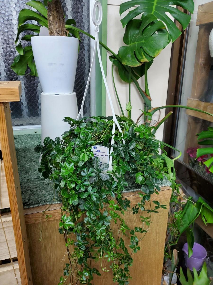 観葉植物『シッサス・シュガーバイン』(吊り鉢)