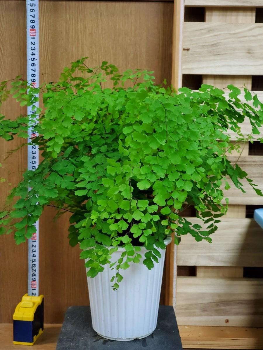 観葉植物『アジアンタム・フラグランス』5寸①