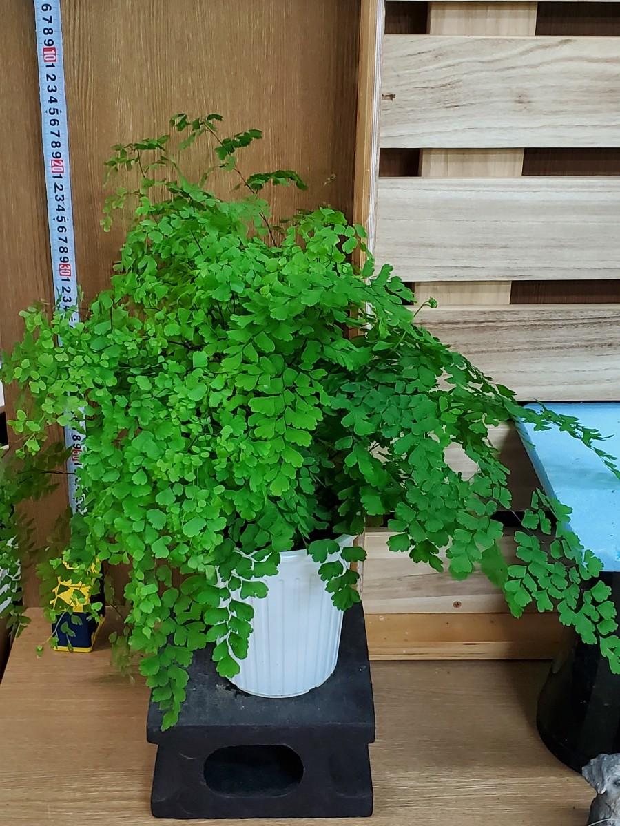 観葉植物『アジアンタム・フラグランス』5寸②