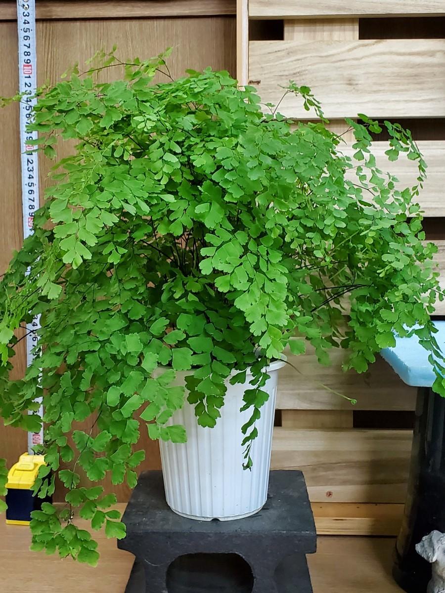 観葉植物『アジアンタム・フラグランス』5寸③