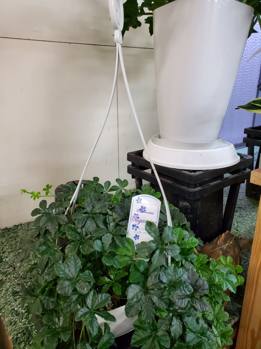 観葉植物『シッサス・シュガーバイン』(吊り鉢)①