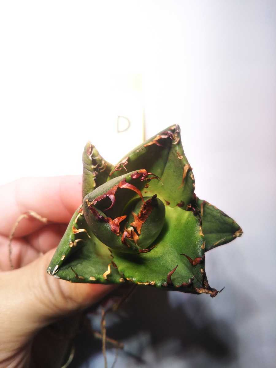 Agave titanota ' Compact' アガベ チタノタ 'コンパクト' D_画像2