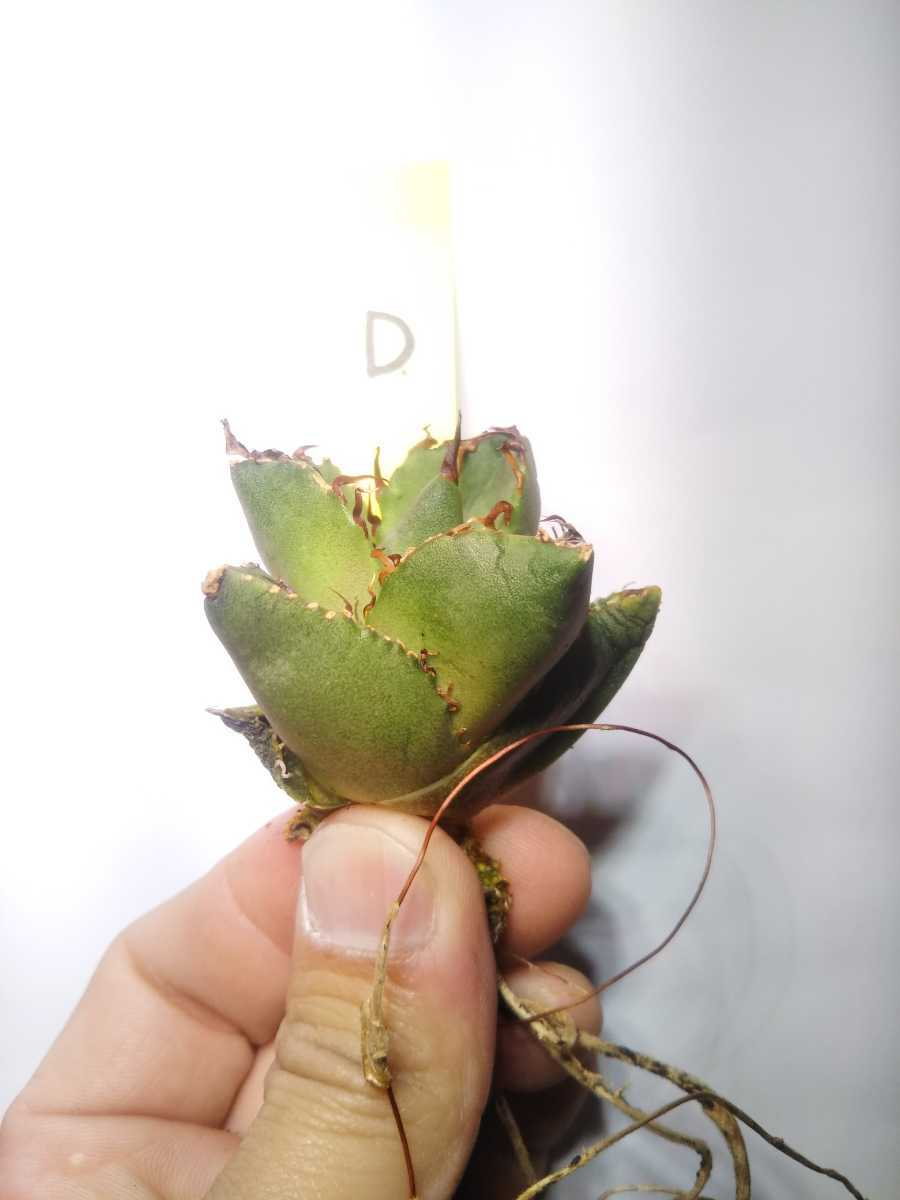 Agave titanota ' Compact' アガベ チタノタ 'コンパクト' D_画像1