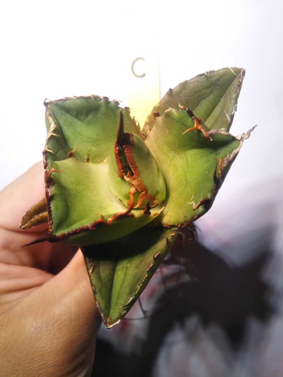 Agave titanota ' Compact' アガベ チタノタ 'コンパクト' C_画像3