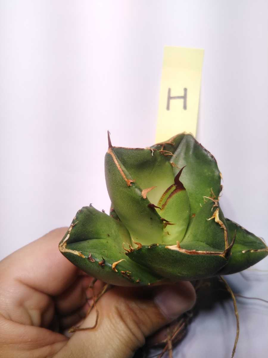 Agave titanota ' Compact' アガベ チタノタ 'コンパクト' H_画像2