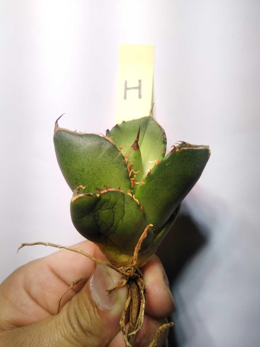 Agave titanota ' Compact' アガベ チタノタ 'コンパクト' H_画像1