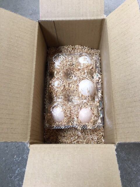 即決、カラー色々当日卵6個!米国モコモコシルキー(烏骨鶏)有精卵_画像5