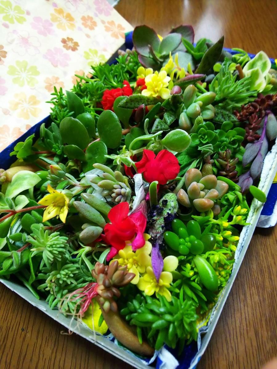 多肉植物カット苗 箱にいっぱい!25 種類