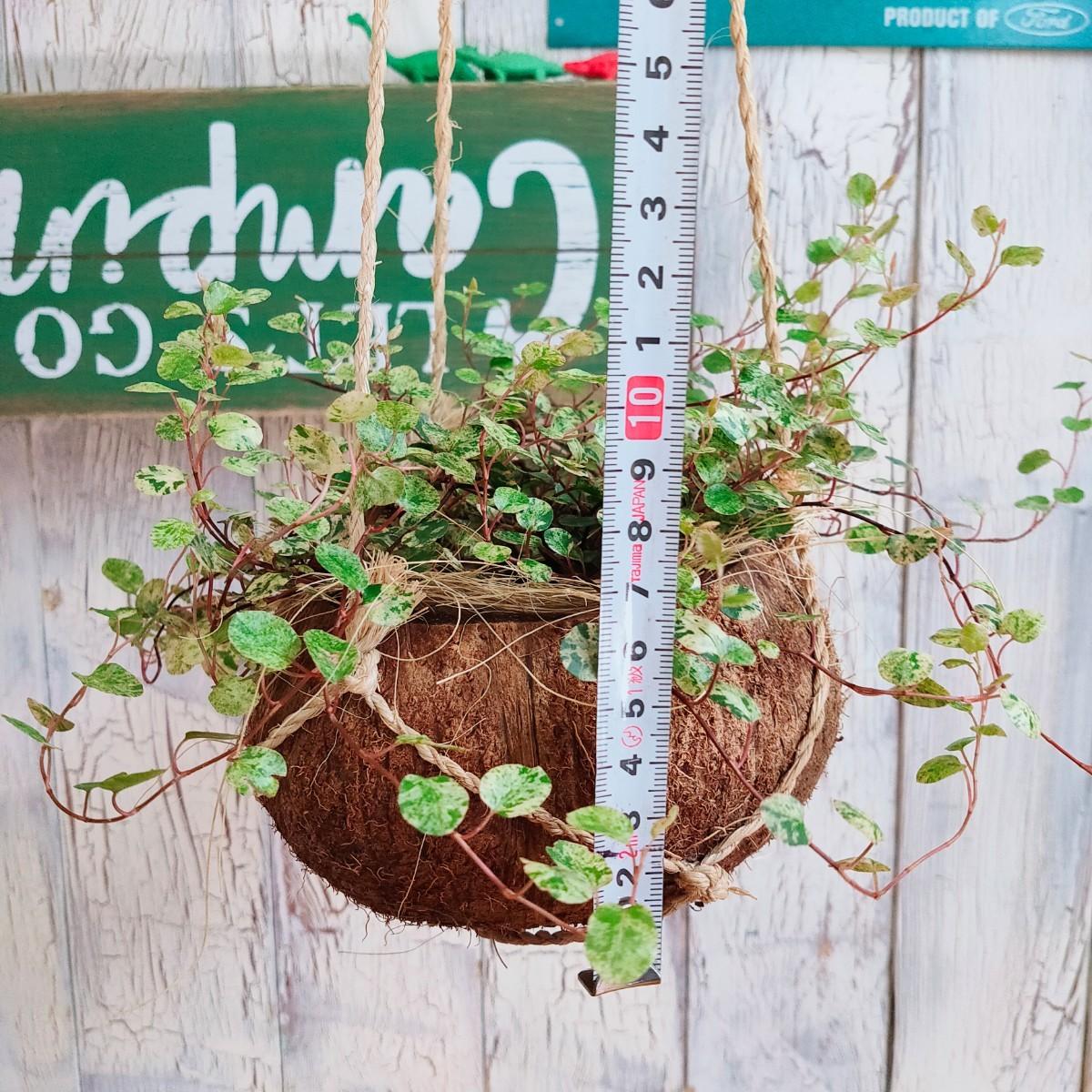 【観葉植物】ワイヤープランツ スポットライト