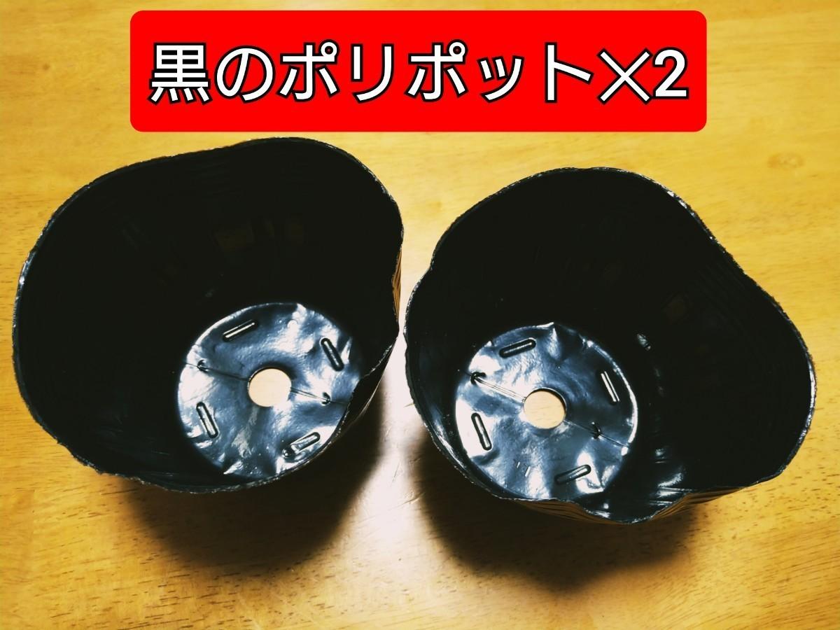 ペパーミントワンコイン栽培キット