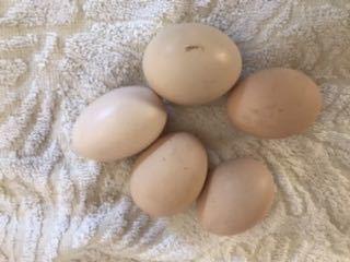 烏骨鶏 有精卵 4個_画像3
