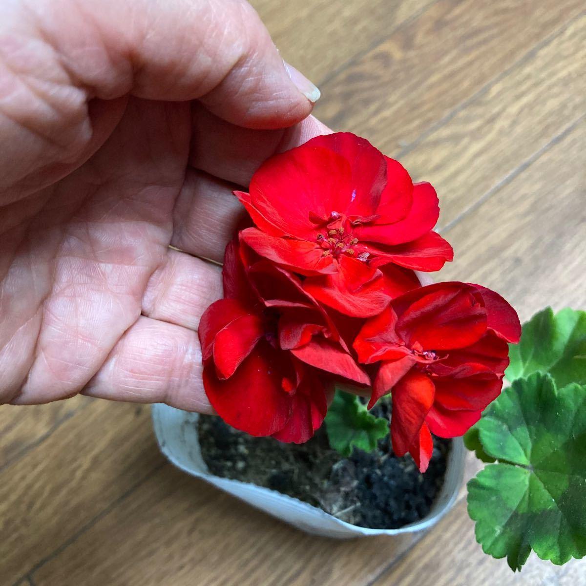 真っ赤なゼラニュウムの抜き苗
