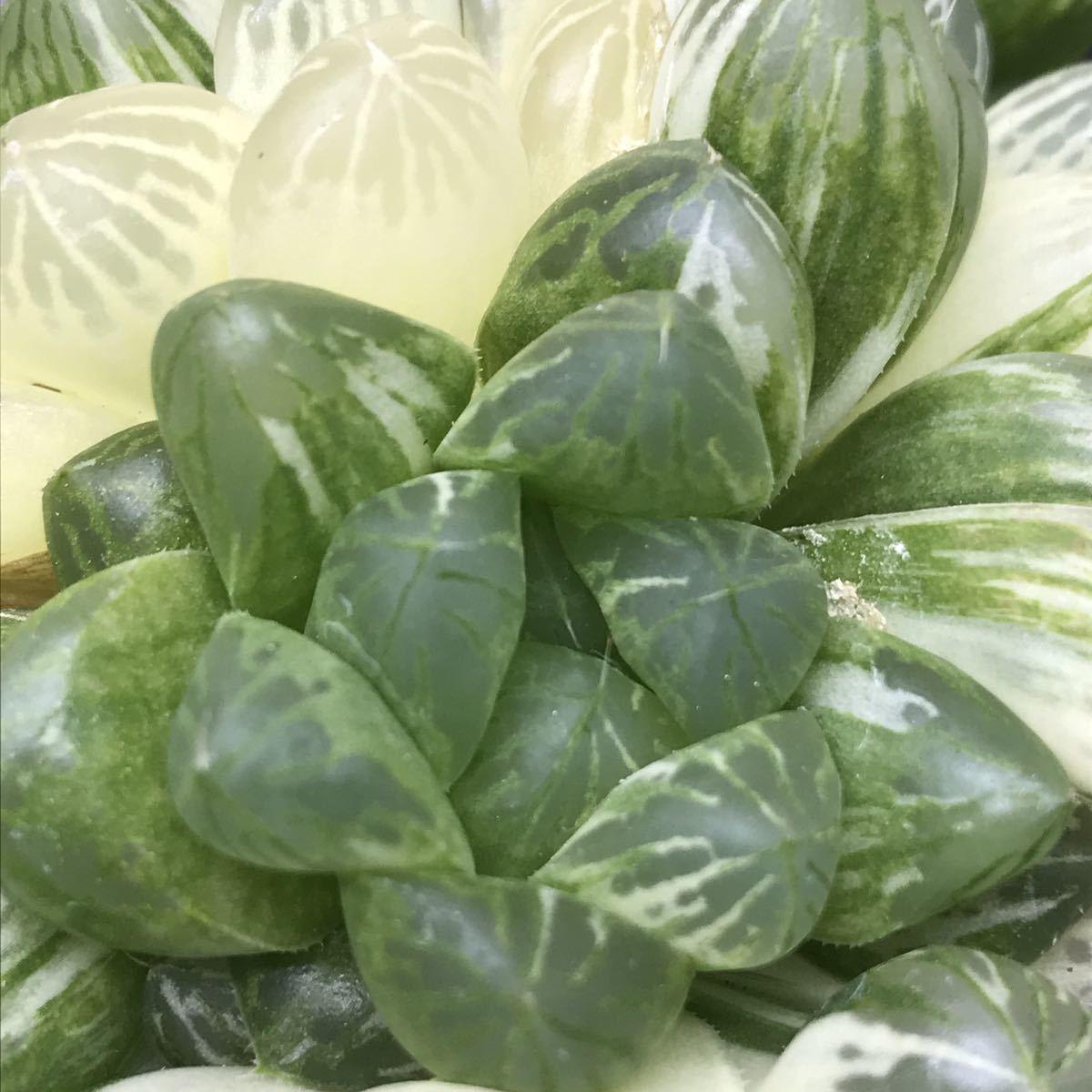 6、マリン 多肉植物 ハオルチア ハオルシア _画像8