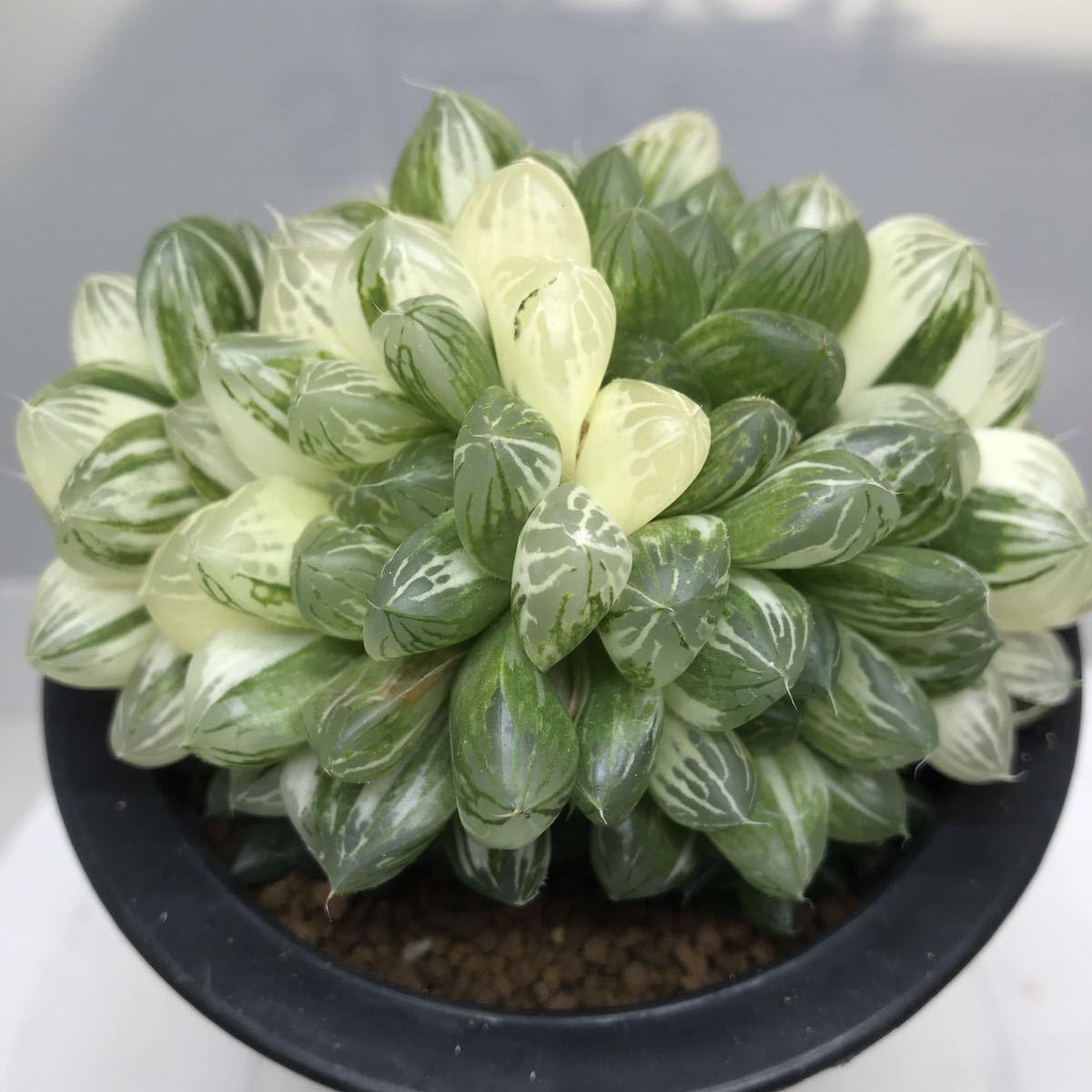 6、マリン 多肉植物 ハオルチア ハオルシア _画像2