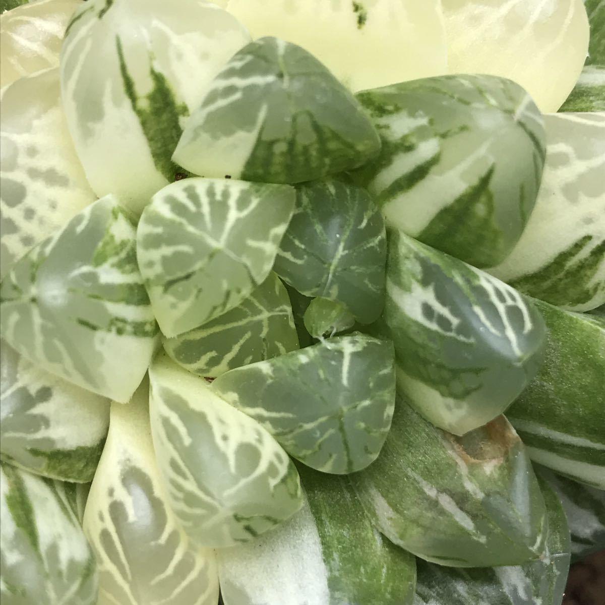 6、マリン 多肉植物 ハオルチア ハオルシア _画像7