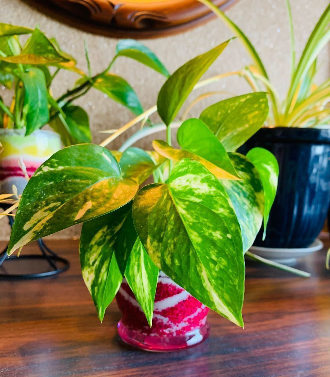 ポトス カラーサンドアート 観葉植物 インテリア小物