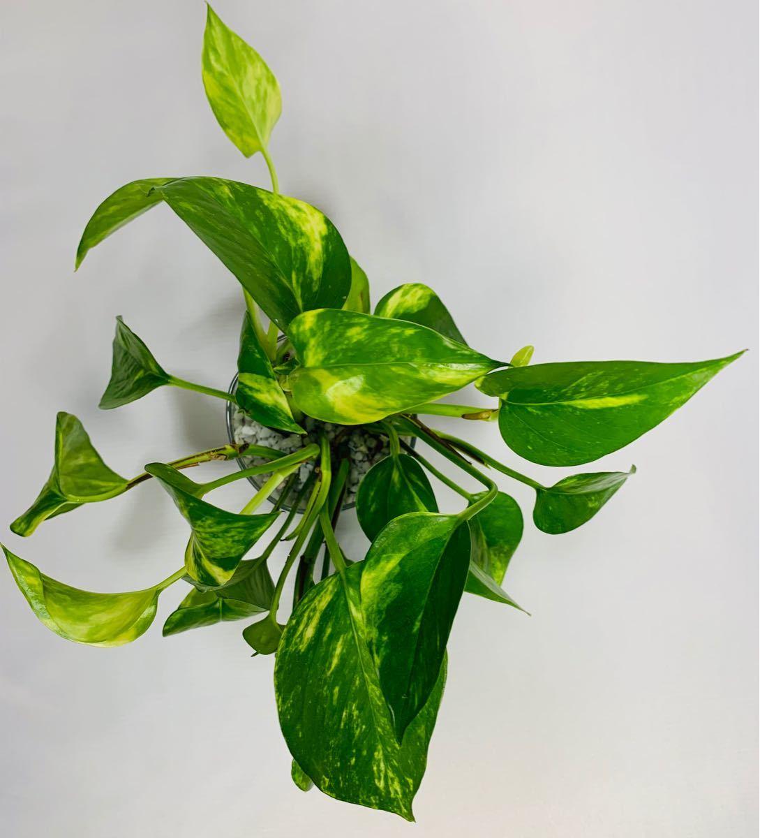 ポトス ハイドロカルチャー カラーサンドアート 観葉植物 インテリア小物