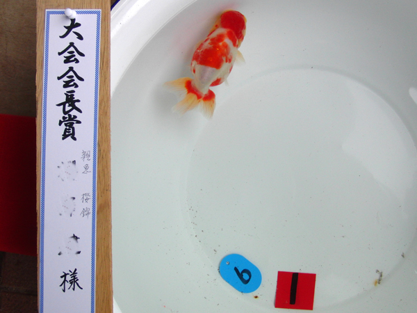 日本一大会優勝血統【蒼い錦魚】極美 櫻錦09 3歳親魚 雄 12.5cm±_2010年優勝魚:参考親魚:非売