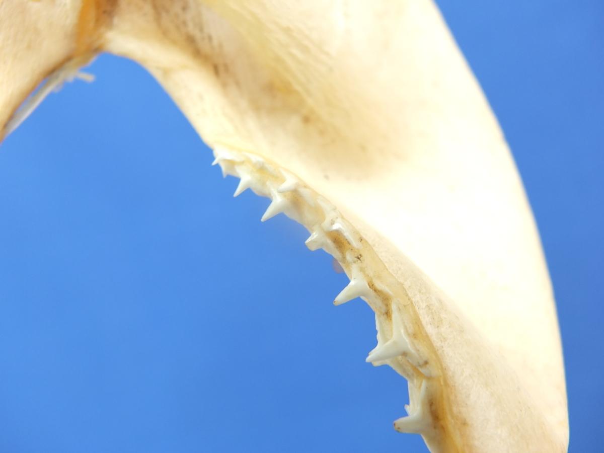 骨格標本 サメ 鮫 歯 本物 天然 剥製 シャーク/インテリア オブジェ 置物 コレクション 海 生き物 標本_画像8
