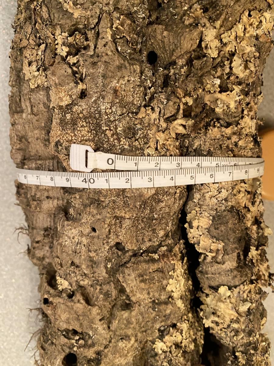 21 キャノン型 コルク樹皮 60cm 送料込み 筒 チランジア コウモリラン DIY テラリウム レイアウト 洋蘭 爬虫類 エアプランツ 着生  _画像2