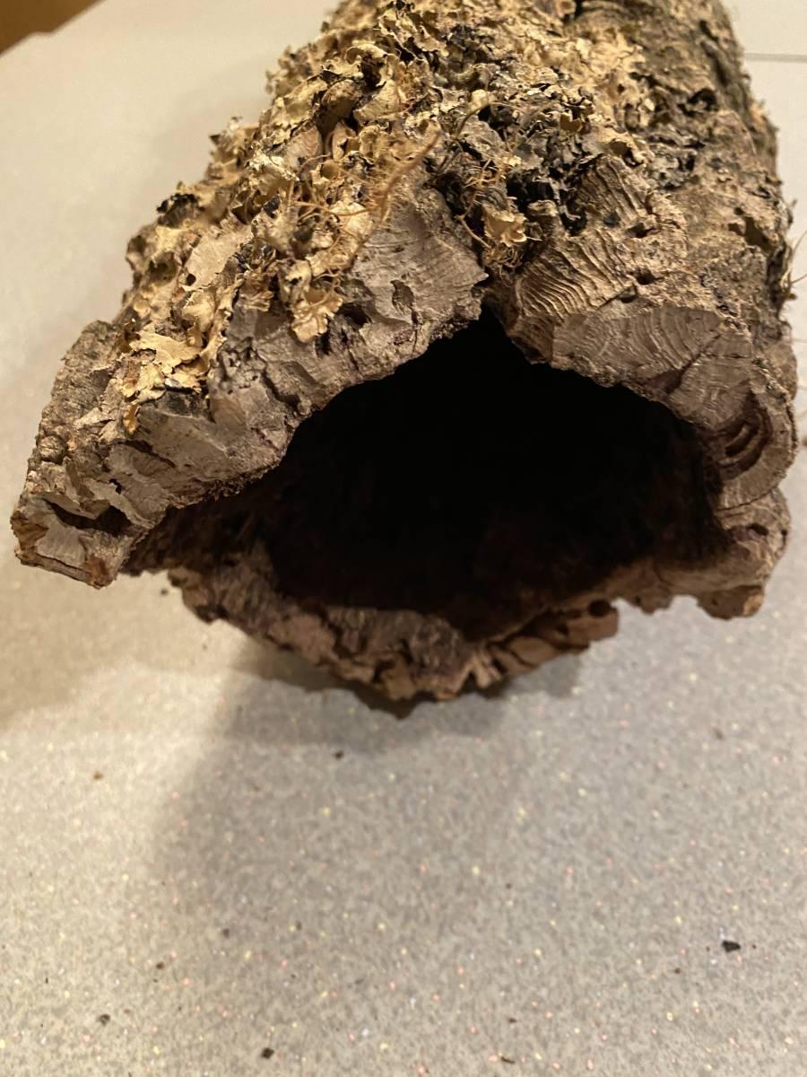 21 キャノン型 コルク樹皮 60cm 送料込み 筒 チランジア コウモリラン DIY テラリウム レイアウト 洋蘭 爬虫類 エアプランツ 着生  _画像3