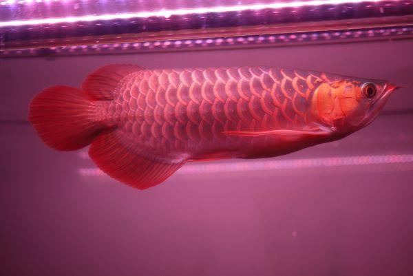 真朱龍灯 アロワナ レッド レベル1 LED 2列 大型水槽 水中照明 アロワナライト アクアリウム 熱帯魚 紅龍 200cm水槽用 でんらい AR-200EX_画像10