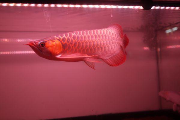 朱紫龍灯 アロワナ LED 2列 UV リバイブソード ライト 色あせ 色揚げ 大型水槽 水中照明 アクアリウム 紅龍 金龍 150cm水槽用 AR2UV-150EX_画像9