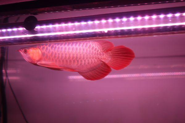 真朱龍灯 アロワナ レッド レベル1 LED 2列 大型水槽 水中照明 アロワナライト アクアリウム 熱帯魚 紅龍 150cm水槽用 でんらい AR150-EX_画像9