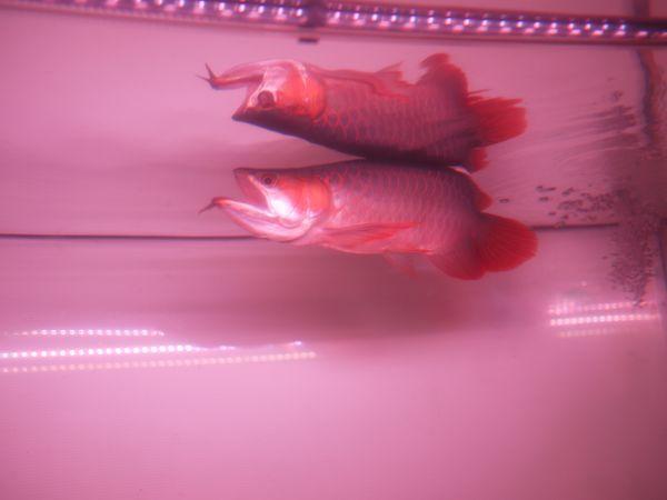 真朱龍灯 アロワナ レッド レベル1 LED 2列 大型水槽 水中照明 アロワナライト アクアリウム 熱帯魚 紅龍 200cm水槽用 でんらい AR-200EX_画像9