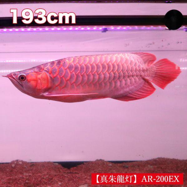 真朱龍灯 アロワナ レッド レベル1 LED 2列 大型水槽 水中照明 アロワナライト アクアリウム 熱帯魚 紅龍 200cm水槽用 でんらい AR-200EX_画像2