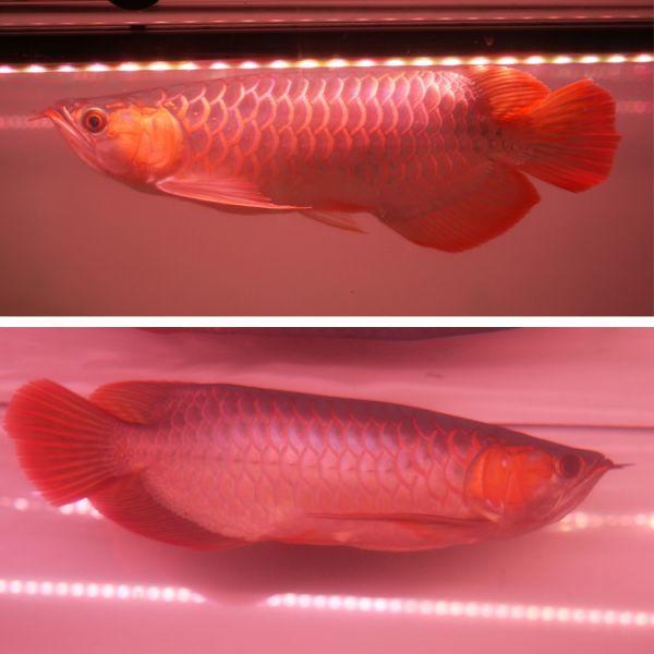 朱紫龍灯 アロワナ LED 2列 UV リバイブソード ライト 色あせ 色揚げ 大型水槽 水中照明 アクアリウム 紅龍 金龍 150cm水槽用 AR2UV-150EX_画像7