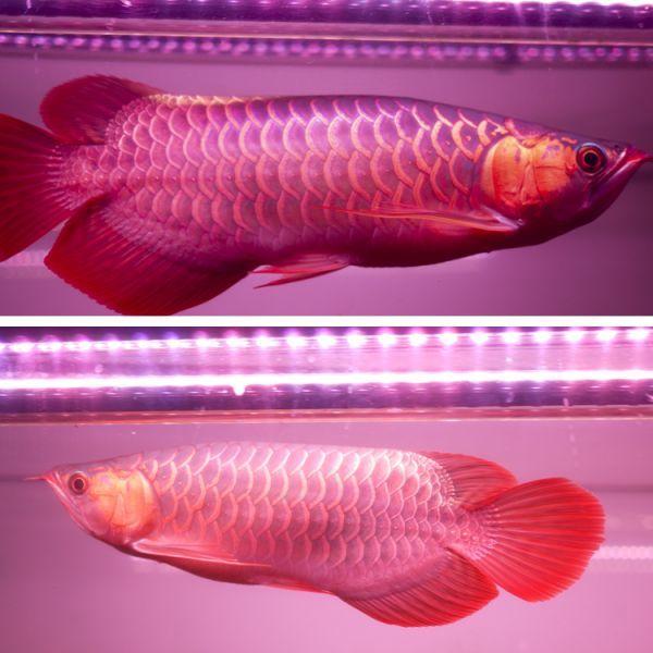 真朱龍灯 アロワナ レッド レベル1 LED 2列 大型水槽 水中照明 アロワナライト アクアリウム 熱帯魚 紅龍 150cm水槽用 でんらい AR150-EX_画像7