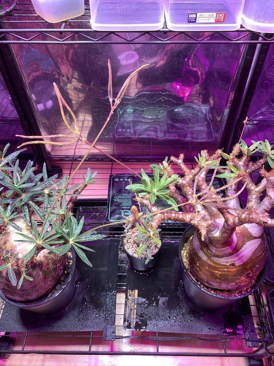パキポディウム・グラキリス 種子 自家採種 10粒 神奈川産 1円③/pachypodium gracilius パキプスウィンゾリー コーデックス 塊根植物_画像5